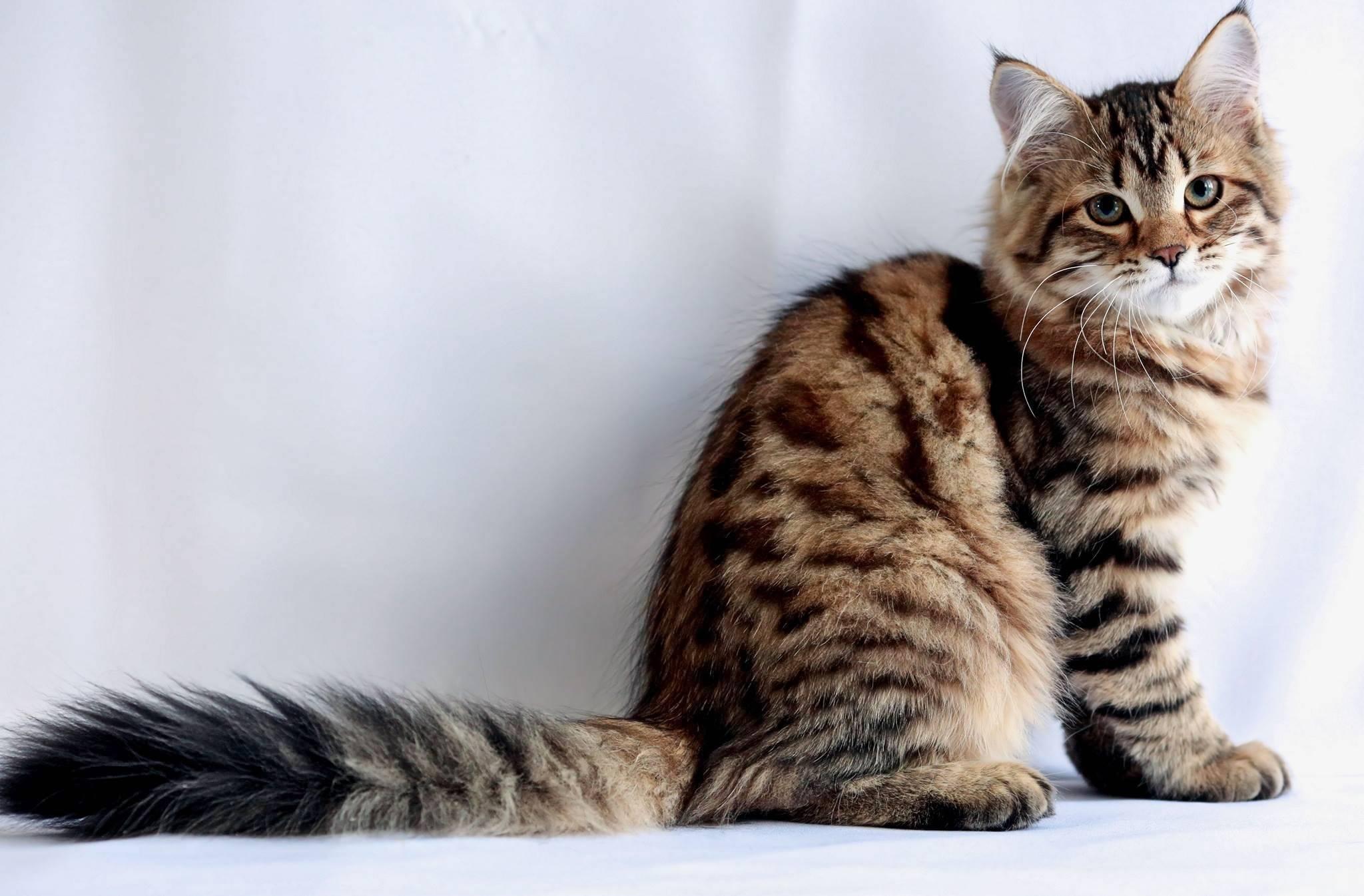 Сибирские кошки: описание породы с фото, характер животного, цены...