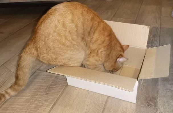 Игра в прятки или борьба со стрессом: почему коты любят картонные коробки