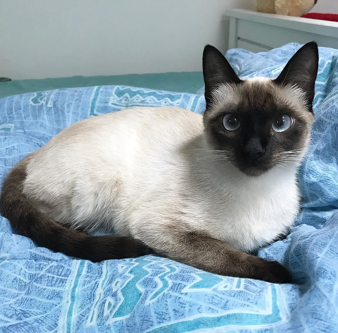 Котёнок тайской породы: маленький тайфун или счастье хозяина?