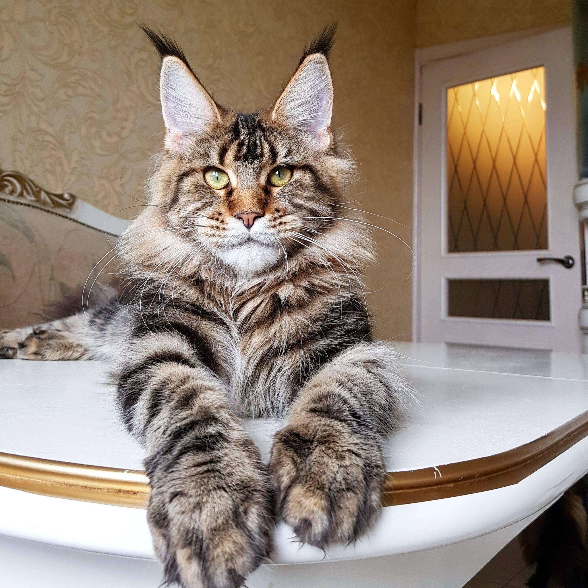 Кошка с кисточками на ушах: порода, фото | дикая и домашняя, большая