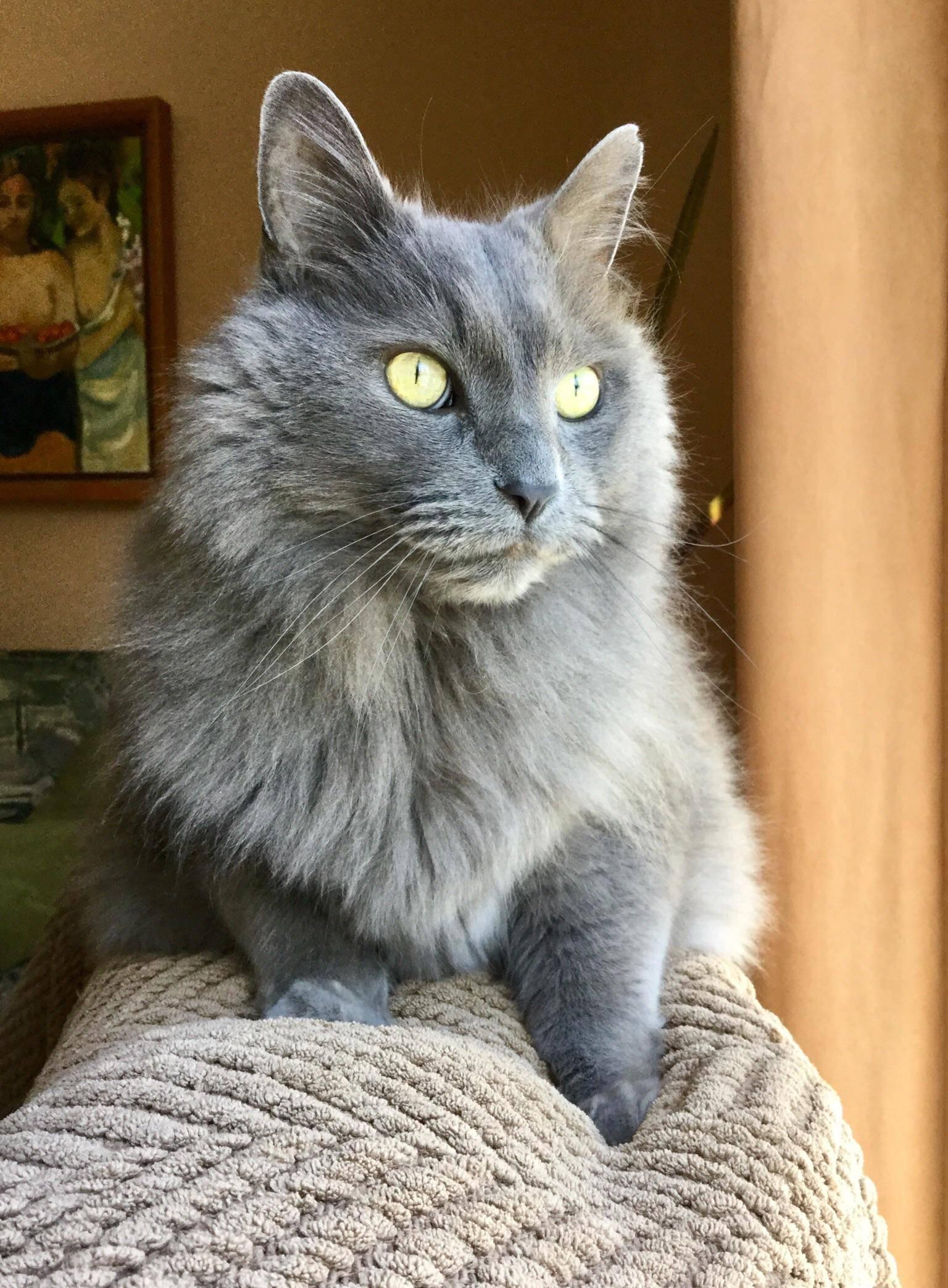 Все, что нужно знать о русских голубых кошках