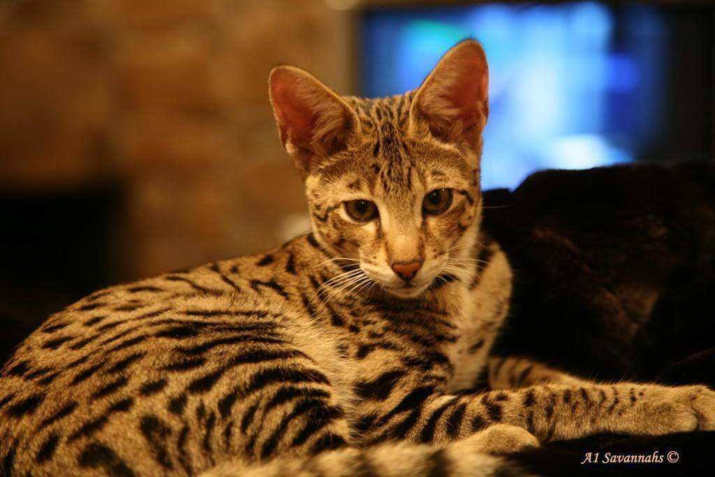 Топ самых дорогих кошек в мире :: инфониак