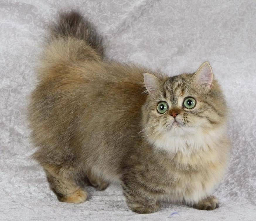 Манчкин: описание породы кошек, виды и содержание