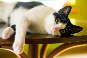 Таурин для кота