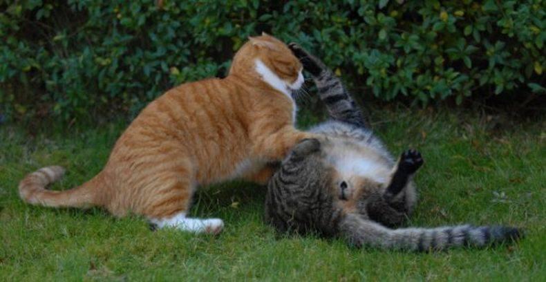 Как дерутся коты?