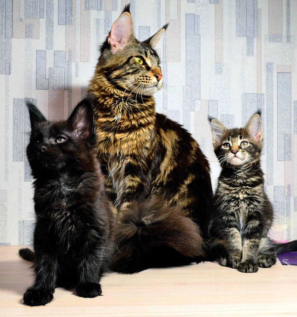 Особенности ухода за кошкой мейн-кун