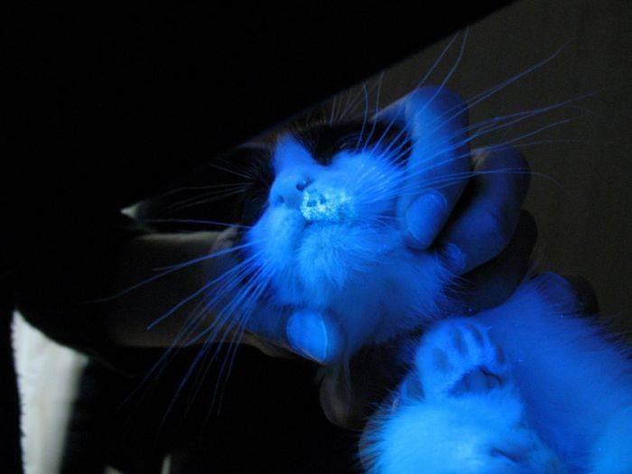 Лишай у кошки: страшно, но излечимо