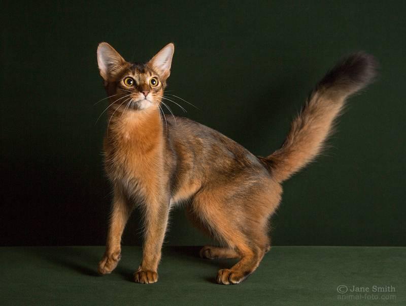 Сомалийская кошка: фото и описание породы, характер, особенности содержания и ухода, отзывы владельцев кота из сомали