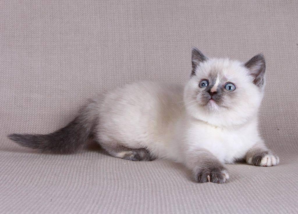 Как ухаживать за 1 месячным британским котенком