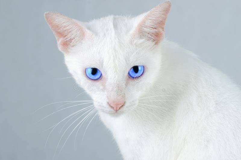 Интересные факты о белых голубоглазых кошках