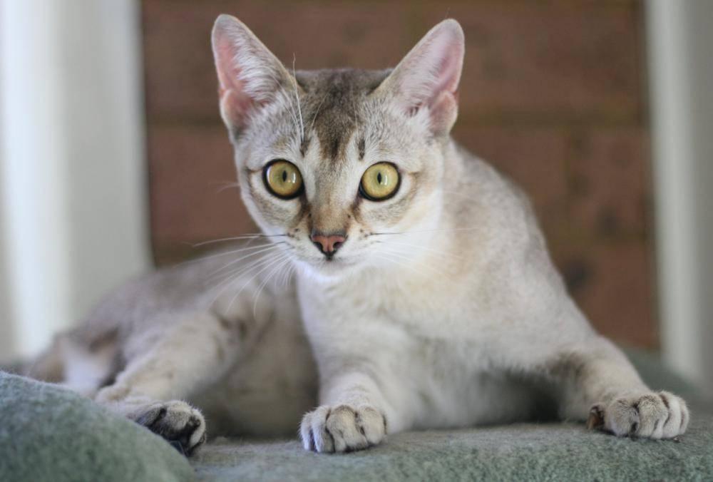 Порода кошек бурмилла: 40 фото, описание характера, цена котенка