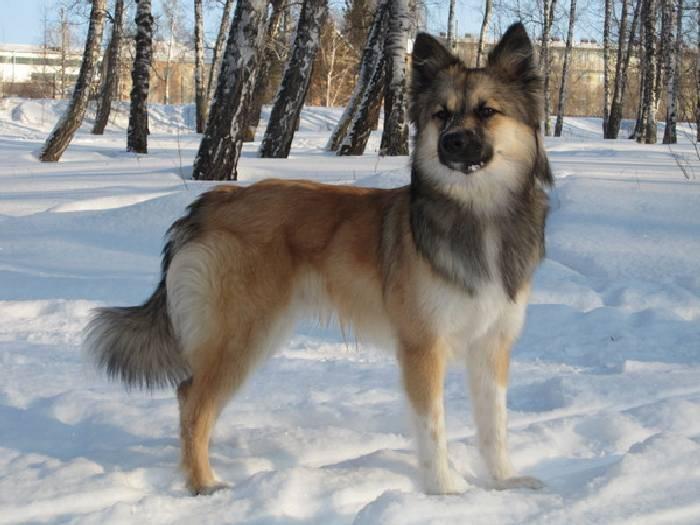 Ненецкая лайка — википедия