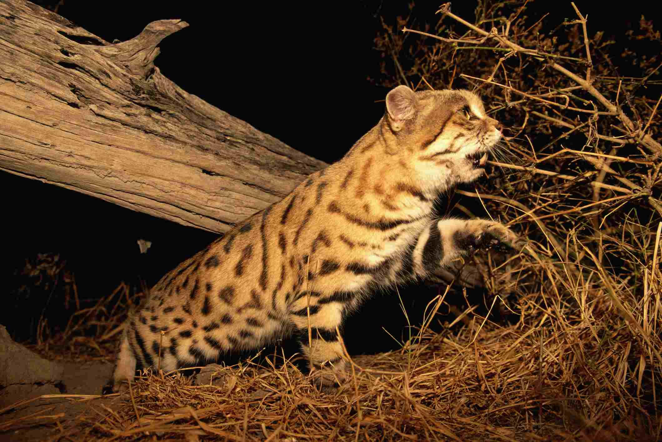 Андская горная кошка: описание, внешний вид, характер, ареал и среда обитания, фото