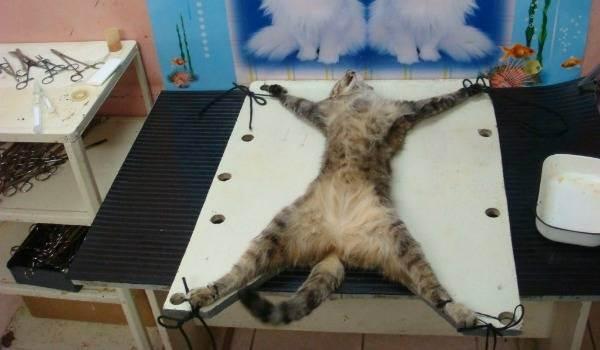 Кастрация котов: возраст и последствия