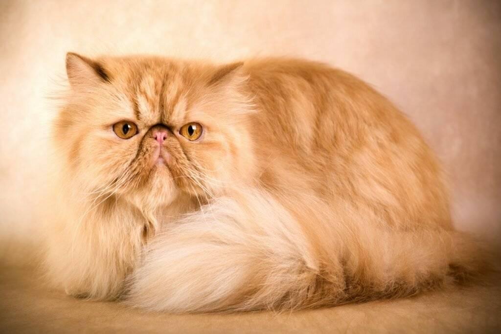 Персидская кошка сколько живут