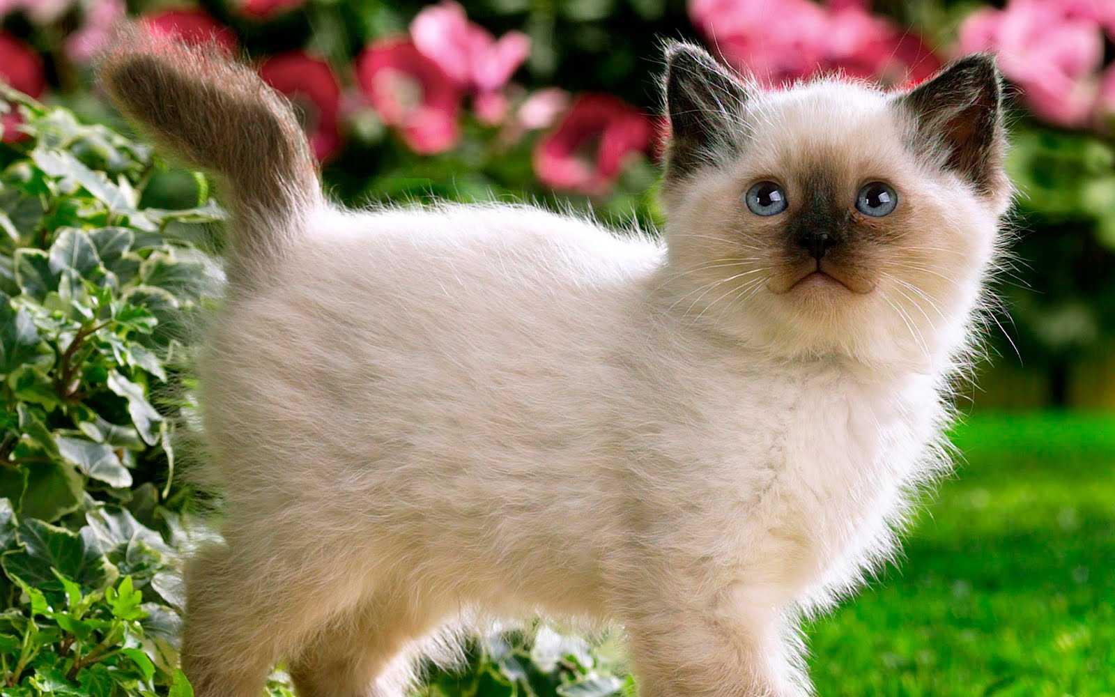 Сиамская кошка - разновидности, особенности ухода и отзывы владельцев