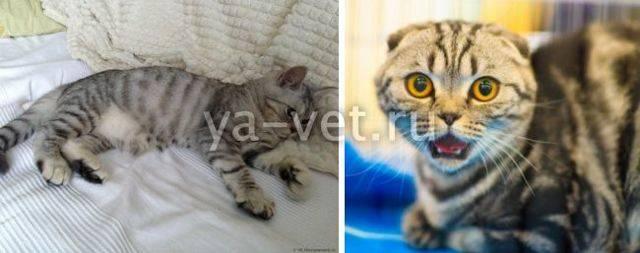 Судороги у кота: причины, что делать, симптомы