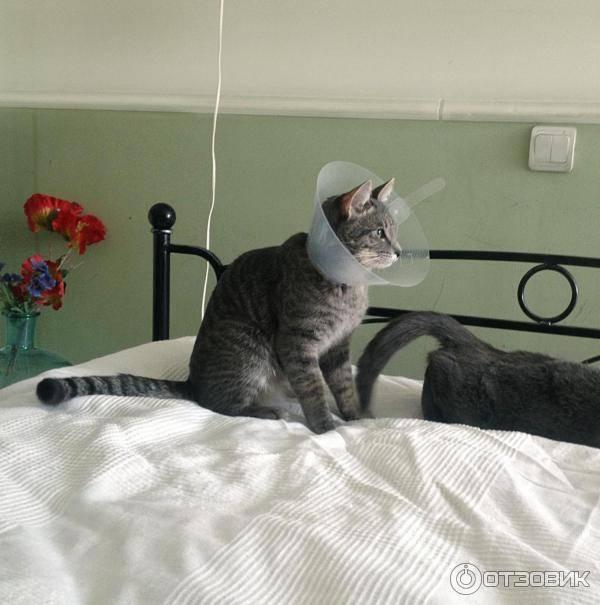 ᐉ сколько носить воротник после кастрации кота: ошейник для кошек после операции - zoomanji.ru
