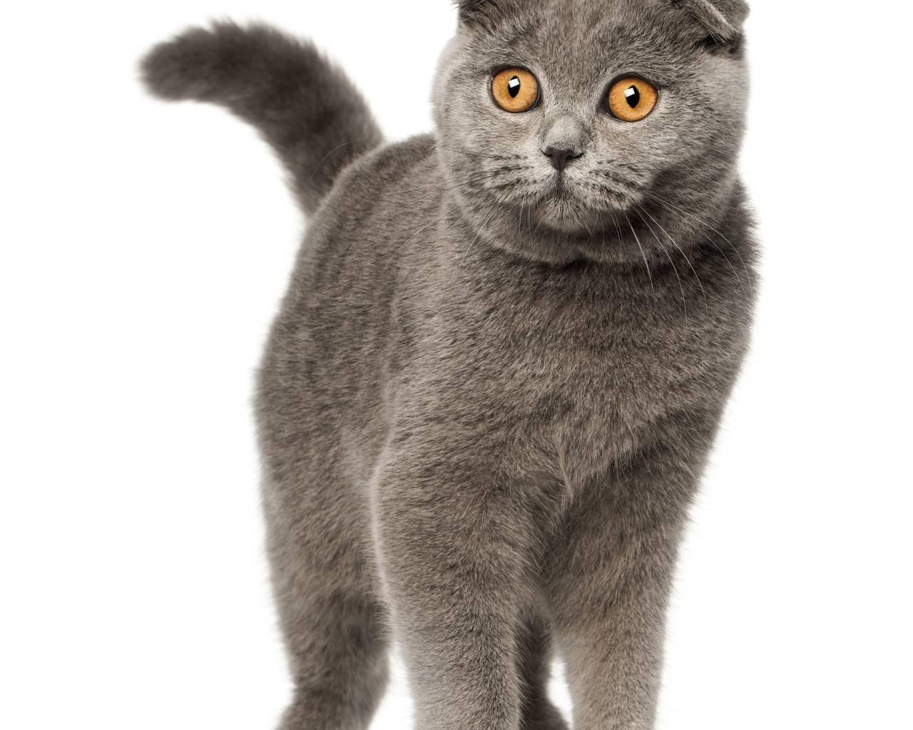 Голубые вислоухие британцы — как эти коты и кошки выглядят на фото?