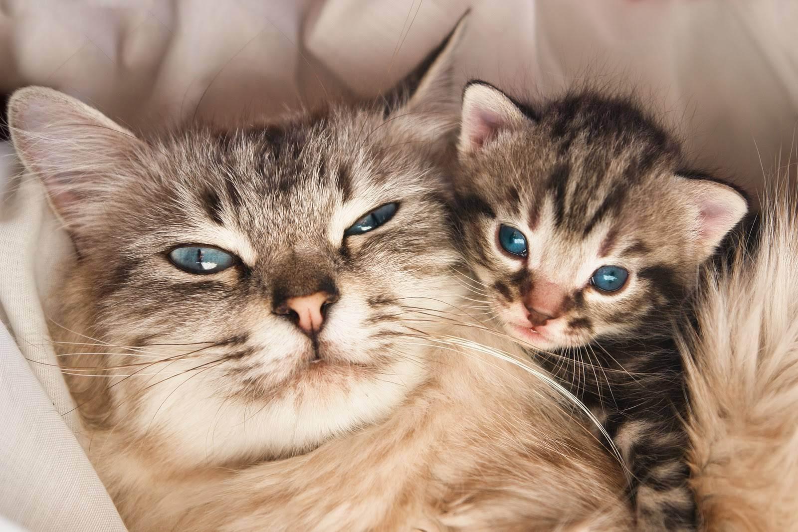 Лезет шерсть британской кошки чего делать. линька у кошек