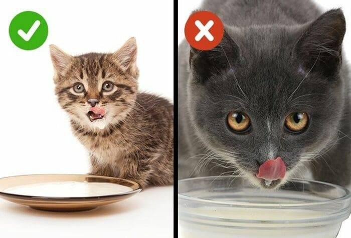 Можно ли кошке кефир: работа желудочно-кишечного тракта котов, польза и вред молочнокислых продуктов, особенности и правила кормления
