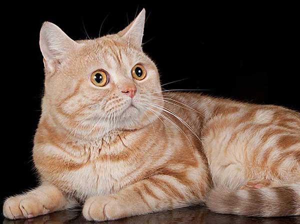 Почему шотландский и британский кот сопит и храпит во сне? мурлыкающий оркестр или почему кот храпит во сне почему котенок храпит во сне.