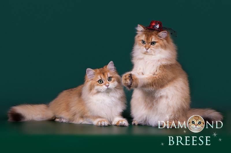 Кто такой заводчик британских кошек?