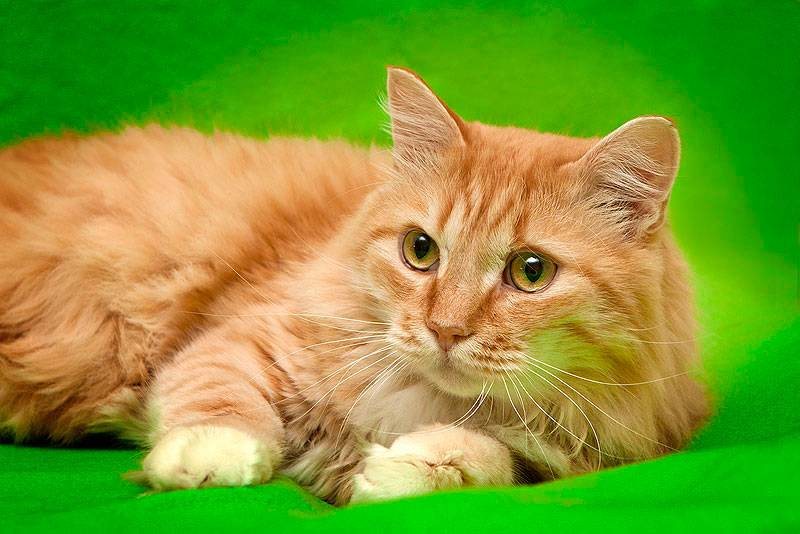 Рыжие породы кошек: генетика и специфика огненного окраса