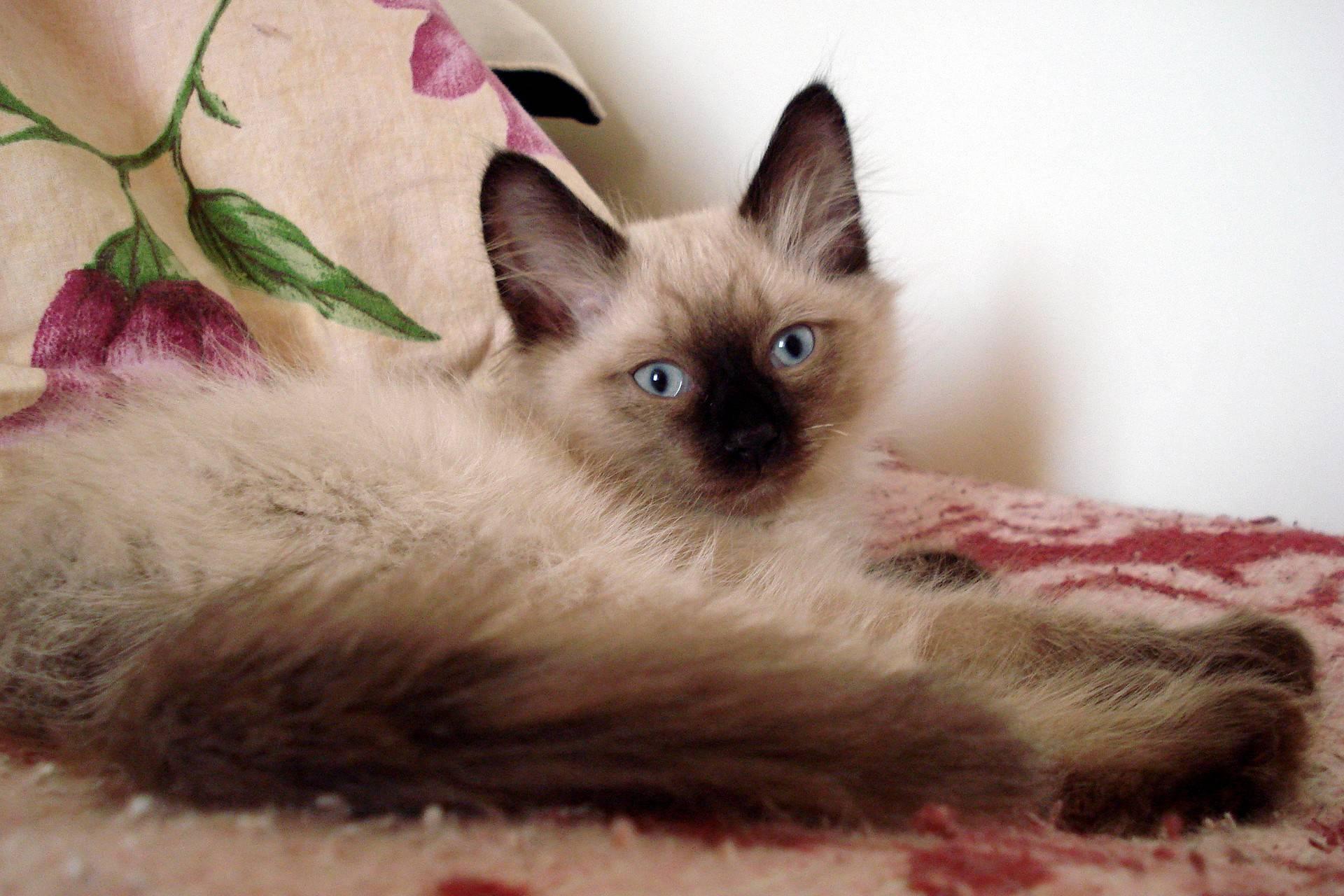 10 интересных фактов о сиамских кошках :: инфониак