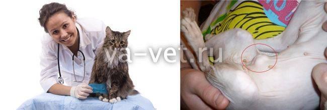 Пупок у кота. есть ли у котов пупок? выясняем, где у кошек находится пупок - в клинике