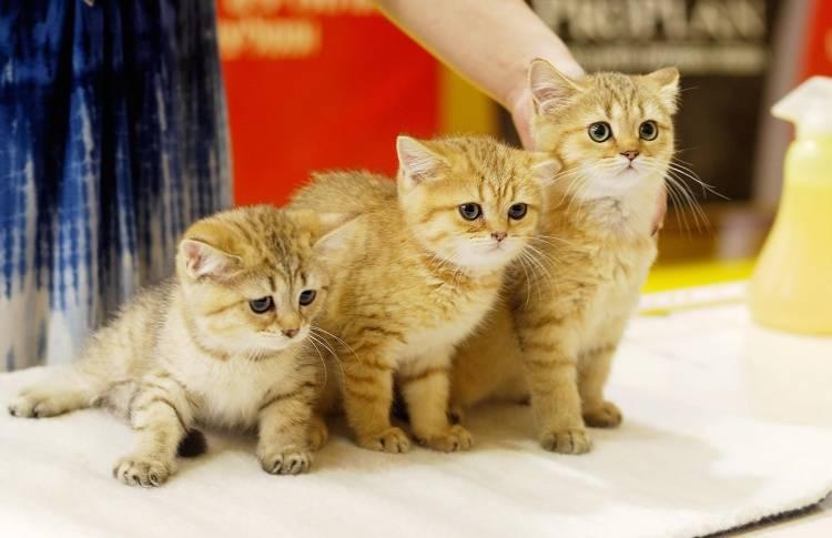 Главные моменты, на которые следует обратить внимание, чтобы правильно выбрать котенка