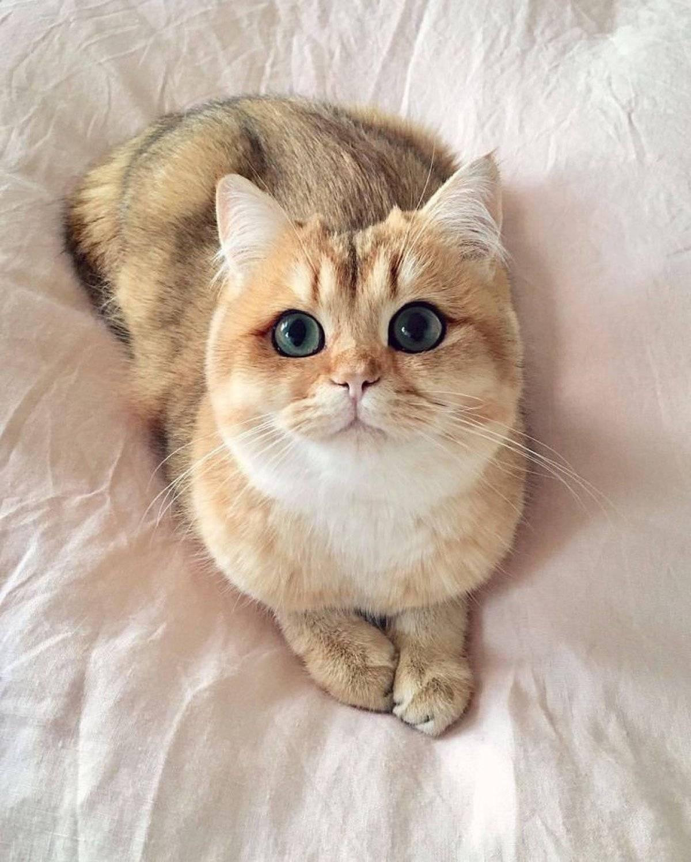 Коты которые имеют большие глаза