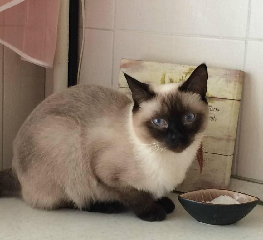 Сиамская кошка: условия для содержания и описание характера