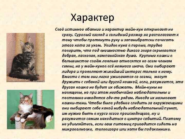 Мейн-кун — описание породы котов и кошек
