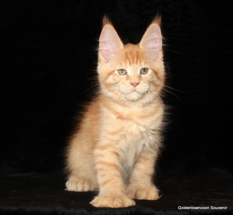 Мейн-кун: стандарт породы с фото, описание характера кошки, особенности ухода