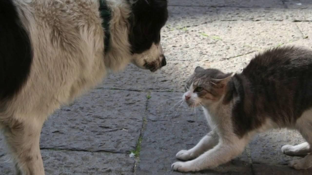 Как подружить кошку с собакой в квартире