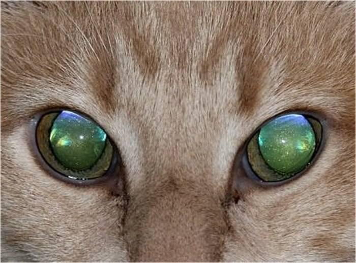 """Цвет глаз у кошек — обсуждение в группе """"кошки""""   птичка.ру"""