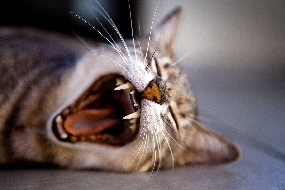 Почему кошка часто зевает