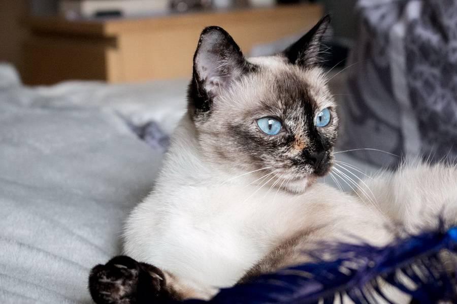 Тайская кошка - характер породы, фото, содержание, цены