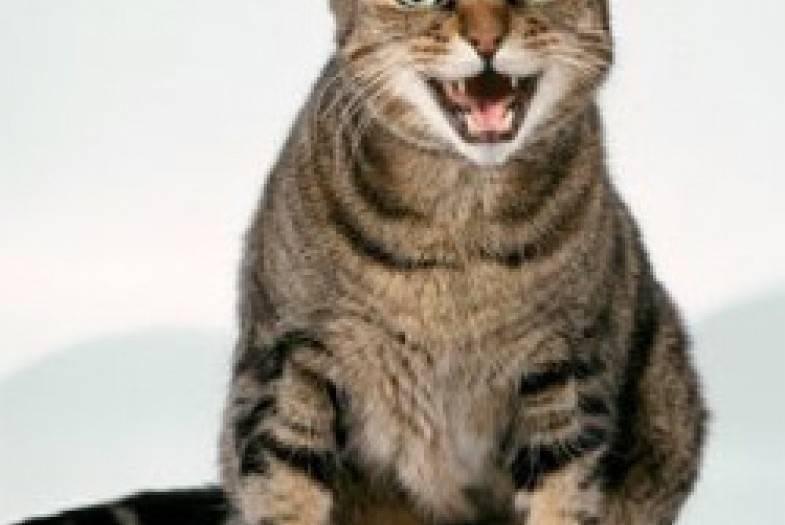Почему орет британский кастрированный кот