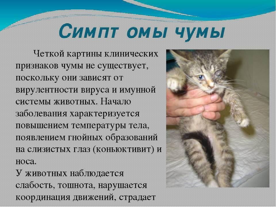 Чумка у кошек: симптомы и лечение, чем опасна, как передается
