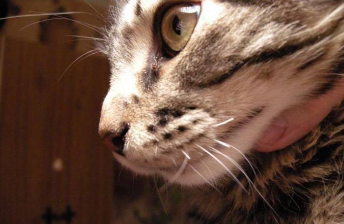 Почему у кота выпадают или ломаются усы, что делать, если симптом у котёнка