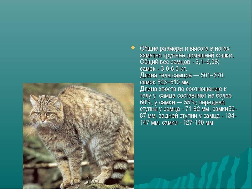 Манул: фото, характеристика породы и среда обитания