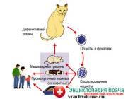 Как передается токсоплазмоз, можно ли избежать заболевания, если в доме живет кошка | rusmeds