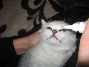 У шотландского кота болит глаз