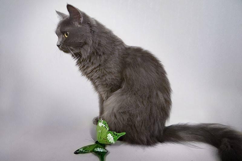Белая кошка: обзор пород кошек со снежным окрасом, мифы, приметы
