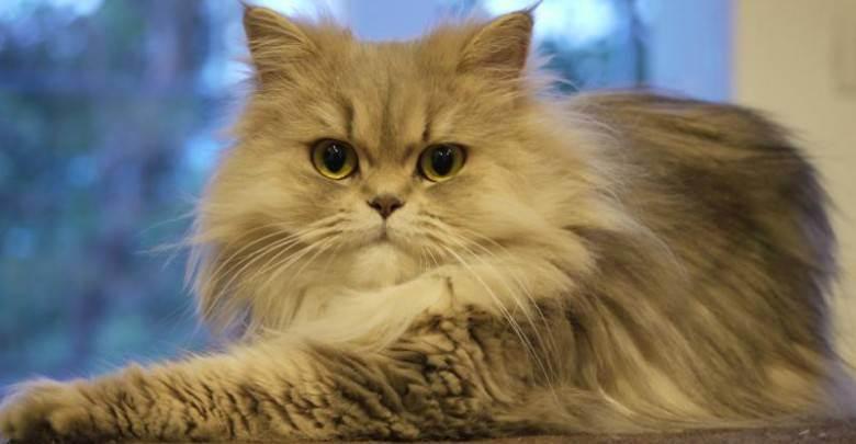Лечение инсулиннезависимого диабета у кошек