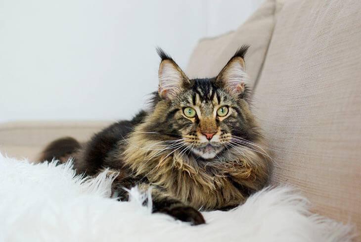 Вес мейн-куна по месяцам: таблица, размеры взрослого кота