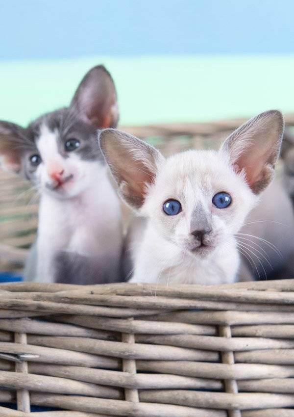 У кота недержание кала понос что делать. у шотландской или британской кошки понос: причины и лечение. у кошки недержание кала что делать и как лечить