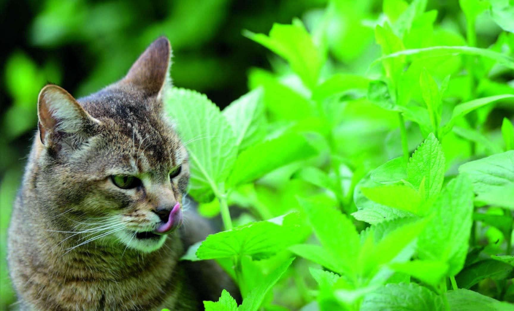 Кошачья мята - для чего она нужна? - medical insider